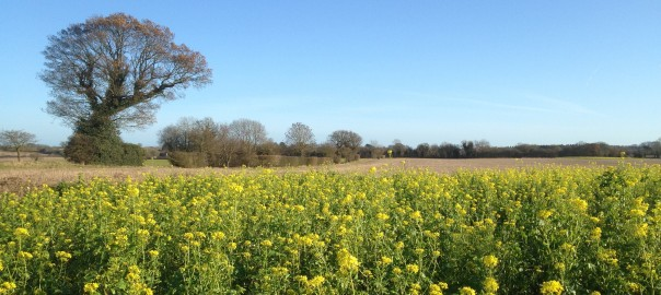 Picture of rapeseed in flower